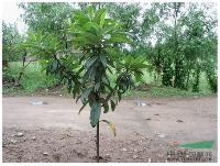 枇杷树 、金棕榈-狐尾椰子、文殊兰