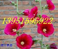 蜀葵花漂亮之至蜀葵种子速递全中国