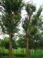 三角枫等绿化苗