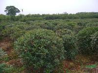 大量供应海桐球,红花继木,红叶石楠球,石楠,桂花,杜鹃