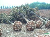 湖南特價批發一批20-30公分廣玉蘭