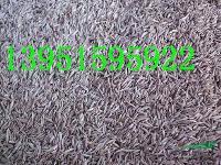草坪高羊茅早熟禾黑麦草都是四季青草皮的一种