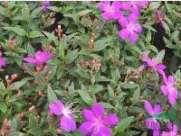 巴西野牡丹 | 红花继木 | 白蝴蝶 | 花叶遍地黄金
