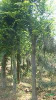 专业销售朴树,榉树,各种规格齐全,量大优惠