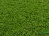 垂盆草,三叶佛甲草