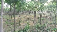 乡土树种苦楝、桑树、枫杨、还有构树等树种