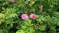现货供应玫瑰 、玫瑰最新价格、沭阳玫瑰质量好