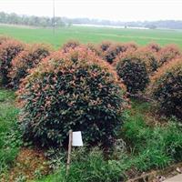 低价处理红叶石楠球,精品红叶石楠球,红叶石楠高杆树