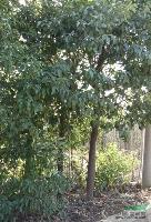 紅葉李,烏桕,香樟,大葉女貞,紅花繼木