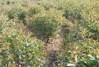常年供應紅葉李、烏桕、大葉女貞、樸樹、香樟,紅葉石楠