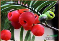 供应南方红豆杉种子、红豆杉种子、沙藏红豆杉种子