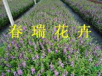 香彩雀,夏季金鱼草,金鱼草