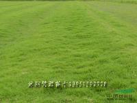 馬尼拉草坪