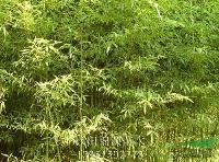 早园竹,紫竹