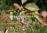 供应蓝果树种子