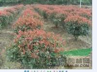 紅葉石楠,肥西紅葉石楠,高桿紅石楠,紅葉石楠球,紅葉石楠價格