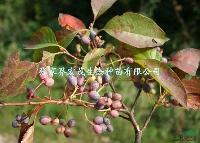 蓝果树种子,珍稀植物蓝果树