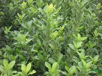 江蘇大葉黃楊 大葉黃楊工程苗 大葉黃楊價格 大葉黃楊供應 優質大葉黃楊 大葉黃楊批發
