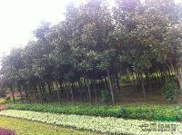 湖南广玉兰3-15cm广玉兰树、紫玉兰