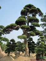 湖南造型罗汉松 罗汉松造型 罗汉松盆景 罗汉松价格 小叶罗汉松 罗汉松大树 精品罗汉松
