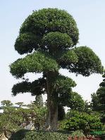 湖南羅漢松造型 造型羅漢松 羅漢松盆景 羅漢松價格 小葉羅漢松 羅漢松大樹 精品羅漢松