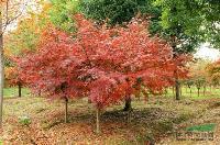三叶园林 鸡爪槭