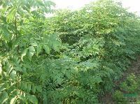 1-5公分的黃山欒樹小苗、無患子小苗、樸樹小苗、高桿紅葉石楠