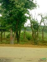 湖南三角楓、樸樹、榔榆