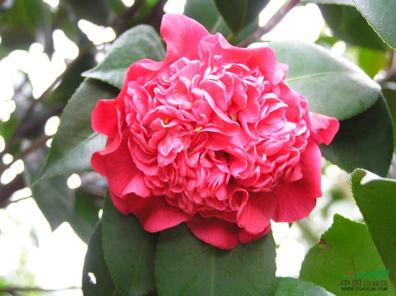 湖南茶花、樱花、红叶李
