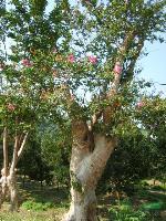 湖南紫薇、红果冬青、黄山栾树