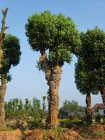 香樟、桂花、楊梅樹、廣玉蘭、羅漢松、杜英、香泡樹、楊梅樹等湖南特色苗木