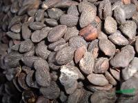 供应厚朴种子、厚朴种子价格、凹叶厚朴