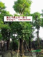 漳州秋枫|马口中秋枫|广东秋枫|福建秋枫