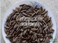 江西凤凰木种子 江西凤凰木种子价格