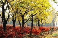 大朴树,朴树,三叶园林