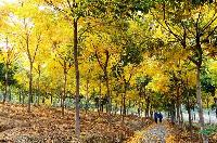 无患子,江苏苗木,三叶园林