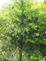 湖南紅豆杉、深山含笑、榆樹