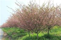 垂丝海棠,三叶园林