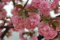 三叶园林 樱花