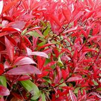 红叶石楠 红叶石楠球  红叶�石楠树 红叶石楠大小杯苗