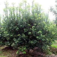 供应地径2-12公分杨梅树 冠幅2.5米至4米工程苗
