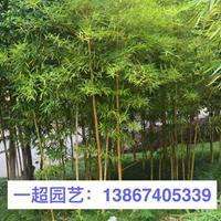 黄杆乌哺鸡竹 各种竹子品种规格齐全