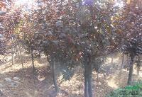 現有一批三角楓,紅葉李,樸樹,香椿,桂花小苗出售