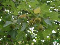 2到8公分的枫香、木荷、杜英、香樟、红枫、青枫、碧桃