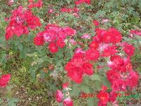 紅帽月季,沭陽紅帽月季,紅帽月季苗圃,70公分高紅帽月季