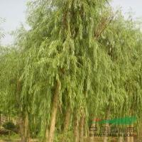 广玉兰、白玉兰、金丝柳、垂柳、合欢、构树、苦楝、丝棉木