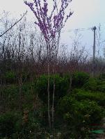 3cm紫荆、紫荆价格、丛生紫荆、紫荆花