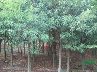 江西杜英、七叶树、喜树、香椿等快乐赛车玩法