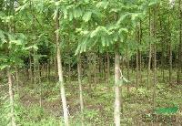 江西水杉、大叶女贞、白玉兰、南酸枣等苗木