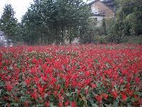 红叶石楠\红叶石楠苗\红叶石楠球\营养钵红叶石楠